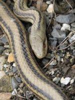 シマヘビ写真