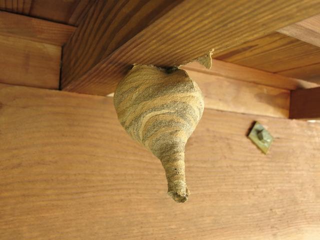 スズメバチの初期の巣