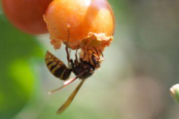 スズメバチは夏から秋が活発