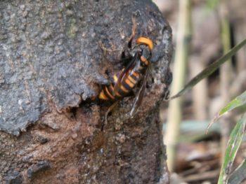 スズメバチの女王蜂
