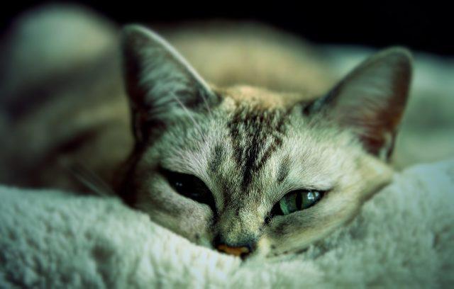 猫インフルエンザは人間にうつる...