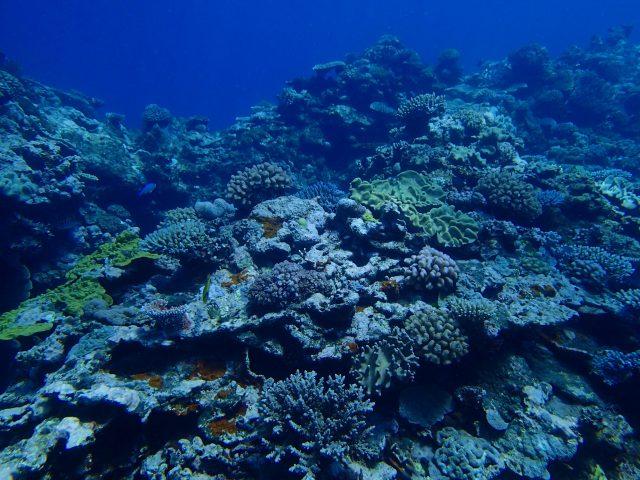 サンゴが寒さで白化