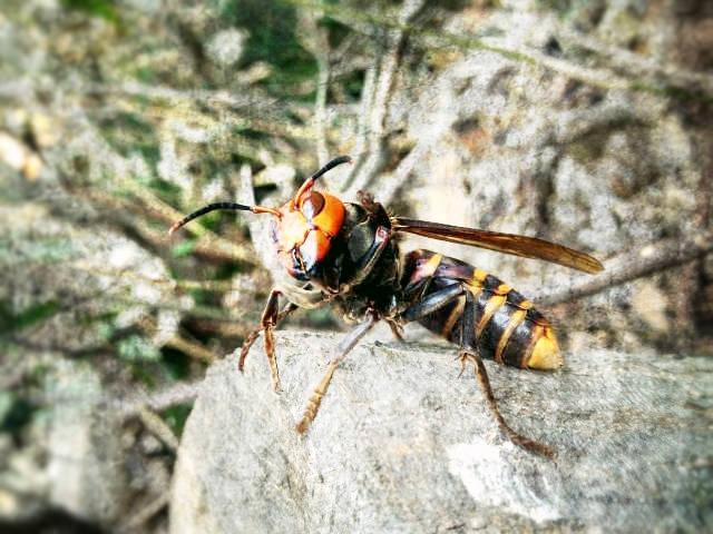 スズメバチ&アシナガバチシーズン